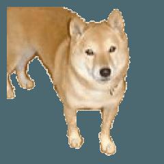 かわいい 柴犬