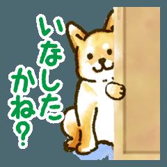 新潟弁を話す柴犬たち(茶柴&黒柴)