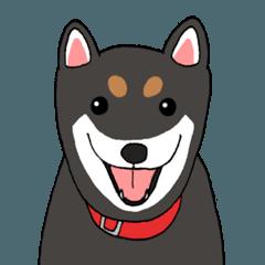 日本の黒柴犬。