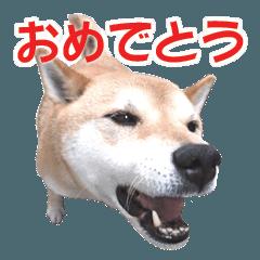 柴犬あーちゃんの「おめでとう」