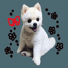 実写フォト キュート犬ポメラニアンのコロ