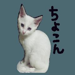 白猫 子猫の シルバーリアルフォト