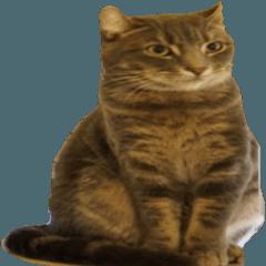 アメリカンカール猫〜エヴァ(EVA)