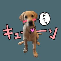 ラブラドールレトリバー(LOVE編)